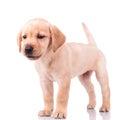 Adorable barking little labrador retriever puppy dog Royalty Free Stock Photo