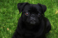 Adorable black pug outdoor portrait outdoors with a green grass background Royalty Free Stock Image