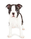 Adorable black and white boston terrier puppy dog cute little seven week old standing on a background looking forward at the Royalty Free Stock Photography