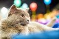 Adorable britan gray cat Royalty Free Stock Photo
