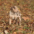 Adorable brown louisiana catahoula puppy in autumn Stock Image
