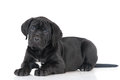Adorable cane corso puppy black on white Stock Image