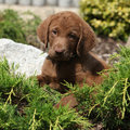 Adorable chesapeake bay retriever puppy in beautiful garden Royalty Free Stock Image