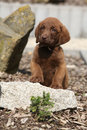 Adorable chesapeake bay retriever puppy on stone Stock Images
