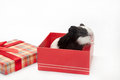 Adorable cute baby guinea pig red box in gift with bow Royalty Free Stock Photography