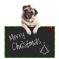 Adorable cute pug puppy dog eating candy cane, leaning on sign saying merry christmas, on white background