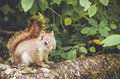 Adorable cute and small American Red Squirrel Royalty Free Stock Photo