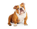 Adorable English Bulldog Looking Into The Camera