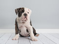 Adorable english bulldog puppy dog sitting down