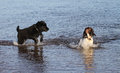 An adorable English Springer Spaniel dog and a cute Newfoundland dog puppy, playing in the sea in Scotland.
