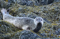 Adorable Face of a Harbor Seal Royalty Free Stock Photo