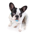 Adorable french bulldog over white background Stock Photos