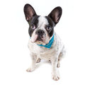 Adorable french bulldog over white background Royalty Free Stock Photography