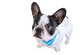 Adorable french bulldog over white background Royalty Free Stock Photo