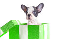 Adorable french bulldog puppy in the gift box isolated over white Stock Photography