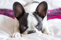 Adorable french bulldog puppy lying in bed Stock Image