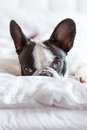 Adorable french bulldog puppy lying in bed Royalty Free Stock Image