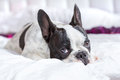 Adorable french bulldog puppy lying in bed Stock Photography