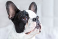 Adorable french bulldog puppy lying in bed Stock Images
