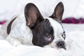 Adorable french bulldog puppy lying in bed Royalty Free Stock Photo