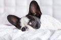 Adorable french bulldog puppy lying in bed Royalty Free Stock Photography