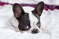 Adorable french bulldog puppy lying in bed Stock Photos