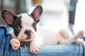 Adorable french bulldog puppy lying on knees Stock Photos