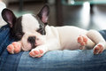 Adorable french bulldog puppy lying on knees Royalty Free Stock Photos