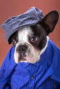 Adorable french bulldog wearing blue shirt over brown background Stock Photo