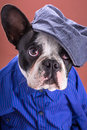 Adorable french bulldog wearing blue shirt over brown background Royalty Free Stock Photo