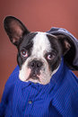 Adorable french bulldog wearing blue shirt over brown background Royalty Free Stock Image