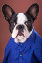 Adorable french bulldog wearing blue shirt over brown background Stock Images