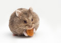 Adorable hamster eating fat. Royalty Free Stock Photo