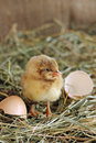 Adorable hatched chick opened his beak close up Stock Images