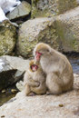 Adorable Japanese Snow Monkeys Hugging Royalty Free Stock Photo
