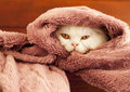 Adorable kitten peeking white persian under a blanket Royalty Free Stock Image
