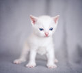 Adorable kitten white over gray bacgraund Stock Image