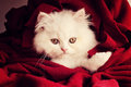 Adorable kitten white persian under blanket Stock Photography