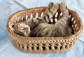 Adorable kitty sleeping in basket Royalty Free Stock Images