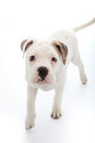 Adorable little dog with sad droopy eyes white looking directly at the camera as it approaches across a white background Royalty Free Stock Photos