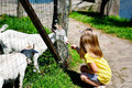 Adorable little girl feeding a goat at the zoo on hot sunny summer day Royalty Free Stock Photo