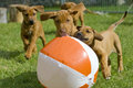 Adorable little puppies playing with a ball Royalty Free Stock Photo