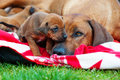 Adorable little puppy with its mother rhodesian ridgeback lying together proud in garden the has face on moms Stock Photography