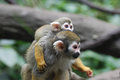 Adorable Mother and Baby Squirrel Monkey Together