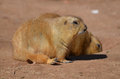 Adorable Pair of Chubby Black Tailed Prairie Dogs Royalty Free Stock Photo