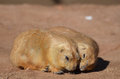 Adorable Pair of Prairie Dogs Cuddling Together Royalty Free Stock Photo