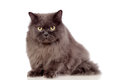 Adorable Persian cat  Stock Images