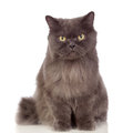 Adorable Persian cat  Stock Photography