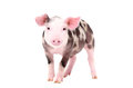 Adorable piglet standing isolated on white background Stock Image