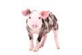 Adorable piglet Royalty Free Stock Photo